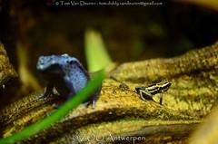 amazonegifkikker - Ranitomeya ventrimaculata - Reticulated poison frog +  blauwe pijlgifkikker - Dendrobates azureus - blue poison dart frog (MrTDiddy) Tags: blue zoo amphibian frog azureus gif antwerp poison dart blauwe antwerpen dendrobates zooantwerpen kikker reticulated pijl amazone amfibie pijlgifkikker gifkikker ranitomeya ventrimaculata pijlgif amazonegifkikker