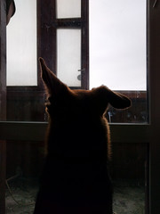 IMG_20160207_131827 (The Man-Machine) Tags: portrait dog window animal ears cropped nexus5x