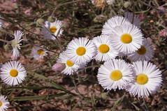 fleabane daisy (erigeron divergens) 4288x2848 (Charlotte Clarke Geier) Tags: wallpapers screensavers