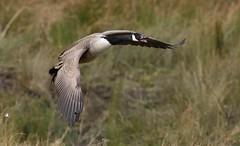 Canada geese (ftm599) Tags: wild bird nature birds flying geese wings nikon wildlife goose canadiangeese bif lowbarns durhamwildlifetrust