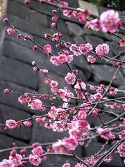 Edo-jō Pink Plum Blossoms (Rekishi no Tabi) Tags: japan tokyo edo plumblossoms edocastle umeblossoms edojo