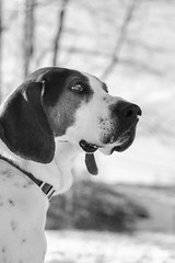 Chris (doranyiro) Tags: winter light blackandwhite dog snow nature forest canon concentration outdoor shelter dogwalk concentrate foxhound