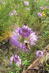Cleome & Bee (Patricia Henschen) Tags: colorado bee wildflowers larkspur larkspurcolorado cleome