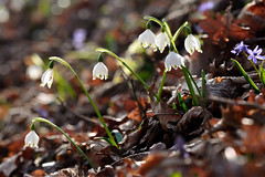 Leucojum vernum () Tags: snowflake white primavera spring fiori bianchi leucojum sottobosco campanelle vernum