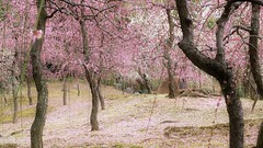 Blossom Dream / Flower Garden of the Tale of Genji (maco-nonchR) Tags: japan garden japanese kyoto traditional blossoms plum   kioto ume japon weeping japons  japaneseapricot