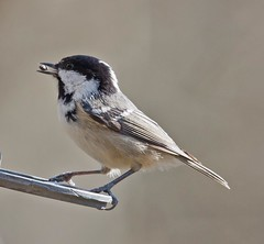 Coal tit - (Periparus ater). (Carl Haslam) Tags: elements