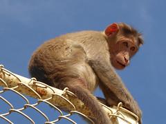 Watching us (Jackie & Dennis) Tags: india monkey mysore macaque chamundi rwh ramblersworldwideholidays spicesplantationshillstations