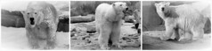 LILI is the name of the new cub  (BrigitteE1) Tags: germany europe polarbear threegenerations lili ijsbeer  eisbr ursusmaritimus  oursblanc isbjrn ursopolar   osopolar orsopolare kutupays  nanoq sbjrn  polarbearvaleska polarbearlale polarbearvienna
