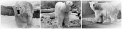 LILI is the name of the new cub ❤ (BrigitteE1) Tags: germany europe polarbear threegenerations lili ijsbeer 北極熊 eisbär ursusmaritimus シロクマ oursblanc isbjørn ursopolar белый медведь osopolar orsopolare kutupayısı 북극곰 nanoq ísbjörn πολικήαρκούδα polarbearvaleska polarbearlale polarbearvienna