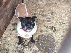 Seren (MerlinAnimalRescue) Tags: rescue dog animal wales north bull terrier merlin staffie staffordshire sbt