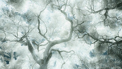Visions of Johanna (philipleemiller) Tags: trees bw nature d70s abstracts