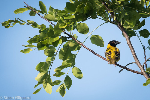 Black-headed Weaver/Village Weaver