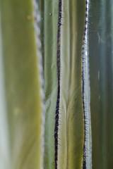 Backyard Cactus 043 (ljguitar) Tags: quail centuryplant suncitywest backyardcactus petemarilyn
