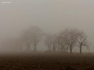 Baumreihe im Nebel
