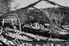 Driftwood4 (jb5860) Tags: artisticphotos bestartistic jb5860