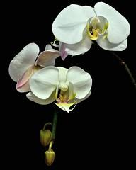 Phalaenopsis Sogo Yukidian (Yukimai x Taisuco Kochdian) (ACEZandEIGHTZ) Tags: flowers white plant flores orchid nikon blumen phalaenopsis blooms blume orchidea d3200 excellentsflowers saariysqualitypictures