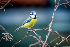 Blaumeise (Bumbus) Tags: allnaturesparadise