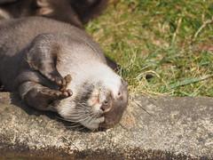 P3131012 (nottsmember) Tags: zoo otter whipsnade whipsnadezoo europeanotter