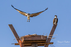 Male Osprey tosses grass toward its nest - Sequence - 18 of 19