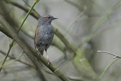 Dunnock (Ralf Muennich) Tags: birds dunnock vgel prunellamodularis heckenbraunelle