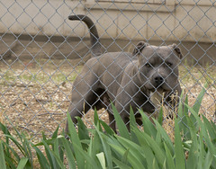 Vinnie (dagnyg) Tags: dogs pitbull vinnie