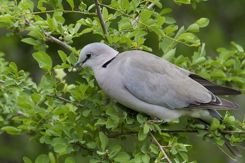 Cape Turtle Dove, Streptopelia capicola, eating fruits of White-berry Bush, Flueggia virosa,Black Rhino Private Reserve_2085