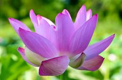 Lotus Flower (Gwendolyn Stansbury) Tags: washingtondc kenilworthaquaticgardens nelumbonucifera