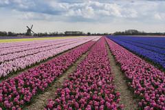 Pinky the Hyacinths (Arne Kuilman) Tags: pink flowers holland netherlands windmill dutch nederland rows bloemen molen noordholland roze hyacinths flowerfield bollenveld bollenvelden hyacinthusorientalis hyacinthen