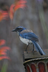 IMG_3269 (armadil) Tags: bird birds backyard jay jays scrubjay scrubjays