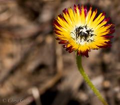 Bicoloured botanical (chrys goote) Tags: mesembryanthemaceae drosanthemummicans stellenboschuniversitybotanicalgardens robertsonvygie
