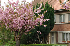 Enamoured Spring (Natali Antonovich) Tags: flowers brussels tree window architecture spring belgium belgique belgie blossom cherryblossom tervuren cherrytree sweetbrussels enamouredspring