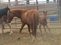 (nevada4949) Tags: mare blm ridgecrest wildhorse foal