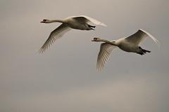 The mute swan (Cygnus olor) (Aleoko) Tags: 15challengeswinner