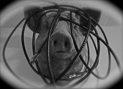 Cabelized Pig Portrait (ricko) Tags: bw pig cables 2016 werehere 76366