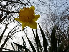 Narzisse (MsAndi63) Tags: flower yellow spring blume frhling narcissus narzisse osterglocke frhlingsblume panasoniclumixfz150