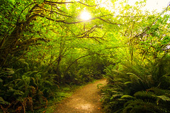 Way of the Woods (West Leigh) Tags: california park trees sunlight plant fern green nature ecology leaves sunshine forest living warm glow walk live dream grow hike explore trail experience lush naturalbeauty discover canoneos7d