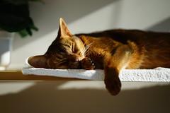 Lizzie on the shelf (DizzieMizzieLizzie) Tags: portrait beautiful cat wonderful chats feline sony lizzie gato siesta meow katze abyssinian gatto katzen kot katt aby pisica mirrorless a7m2 dizziemizzielizzie