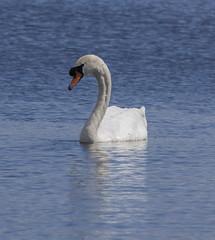 Mute Swan (5) (Mal.Durbin Photography) Tags: nature birds newport naturereserve newportwetlands maldurbin goldcliffnewport