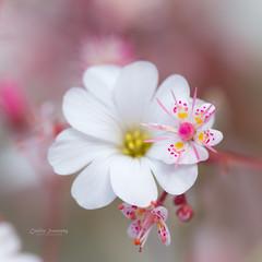 . (nemi1968) Tags: pink flowers summer white flower macro june oslo closeup canon petals bokeh ngc petal tiny botanicalgarden botaniskhage markiii ef100mmf28lmacroisusm