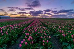 _DSC8936-Noordwijkerhout-web (jazzmatezz) Tags: pink holland netherlands clouds de soleil sonnenuntergang tulips coucher nederland blumen tulip  paysbas niederlande tulpen roze  noordwijkerhout tulp tulipes bollenstreek    narcisses bulbes toolateforsunset  oosterduinen