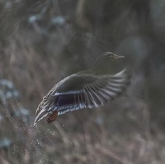 Ghostly looking mallard... (chris.brundle) Tags: duck spring artistic wildlife mallard ukwildlife