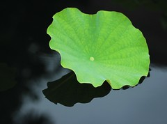 Water Lily Pad (Steven W Lum) Tags: waterlily waterlillies