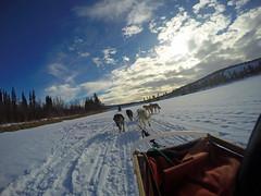 G0178646 (Chilcotin Johnny) Tags: dog yukon sledding whitehorse gopro travelstoke