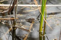 7K8A8487 (rpealit) Tags: nature arthur scenery wildlife marshall national r babie refuge alligators loxatchee