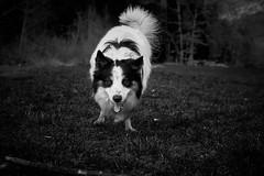 Border coli (vincentmassieyephotographie.myportfolio.com) Tags: bw dog mountain playing sony border coli