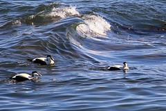 Eider Ducks, North Berwick (robin denton) Tags: sea seascape bird nature coast scotland duck wildlife scottish waterbird coastline northberwick eider seabird firthofforth somateriamollissima