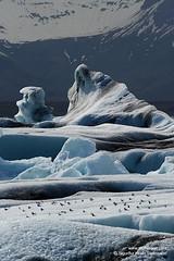 shs_n8_018652 (Stefnisson) Tags: bird ice berg birds landscape iceland glacier iceberg gletscher fugl glaciar sland icebergs jokulsarlon breen jkulsrln ghiacciaio jaki vatnajkull jkull jakar s gletsjer fuglar ln  glacir sjaki sjakar stefnisson