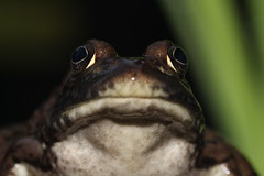 Pouty Face (Tyrannodactyl) Tags: wet face animal mouth eyes amphibian frog pout slime slippery