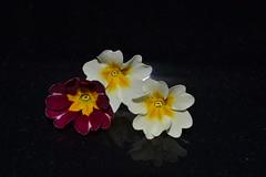 Trio (hcorper) Tags: flowers three oneofthesethingsisnotliketheothers macromondays