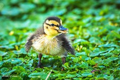 Hey, Wait for Me! (    (Thank you, my friends, Adam!) Tags: macro cute art me nature beauty closeup lens photography for nikon gallery photographer florida wildlife hey fine central duckling adorable telephoto excellent wait lovely cuteness dslr curve
